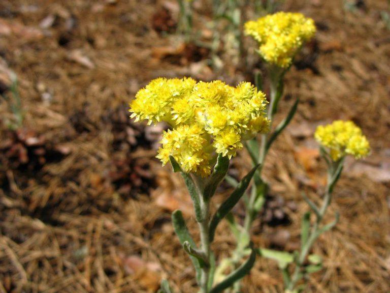 24777 ЦМИНУ ПІЩАНОГО КВІТКИ - Helichrysum arenarium**