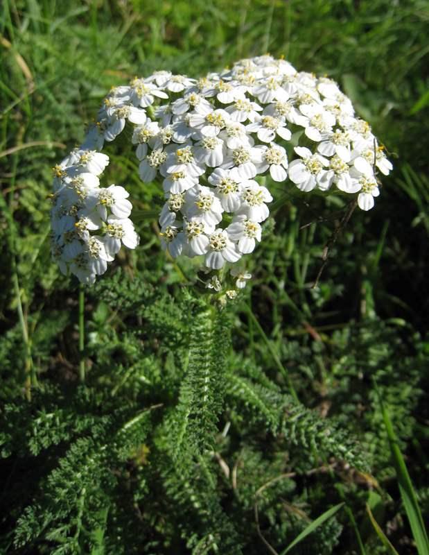 6578 ДЕРЕВІЮ ТРАВА - Achillea millefolium**