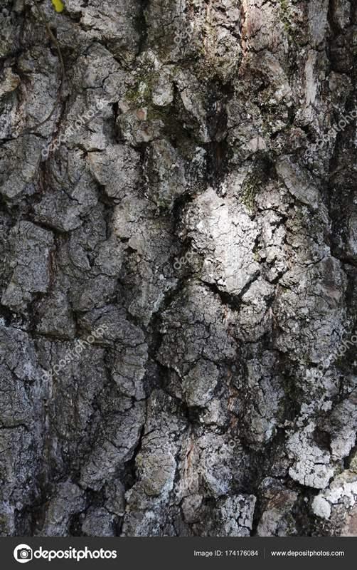 7457 ДУБА КОРА - Quercus**