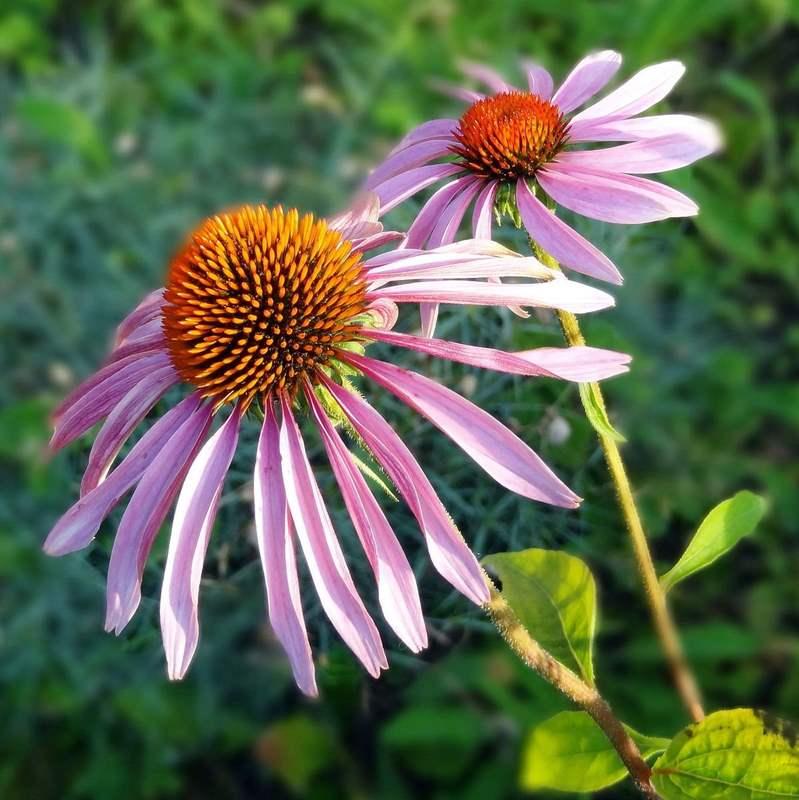8741 ЕХІНАЦЕЇ ПУРПУРНОЇ ЕКСТРАКТ РІДКИЙ - Echinacea purpurea**