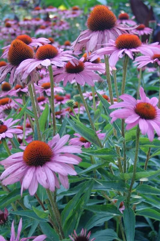 8759 ЕХІНАЦЕЇ ПУРПУРОВОЇ НАСТОЙКА - Echinacea purpurea**