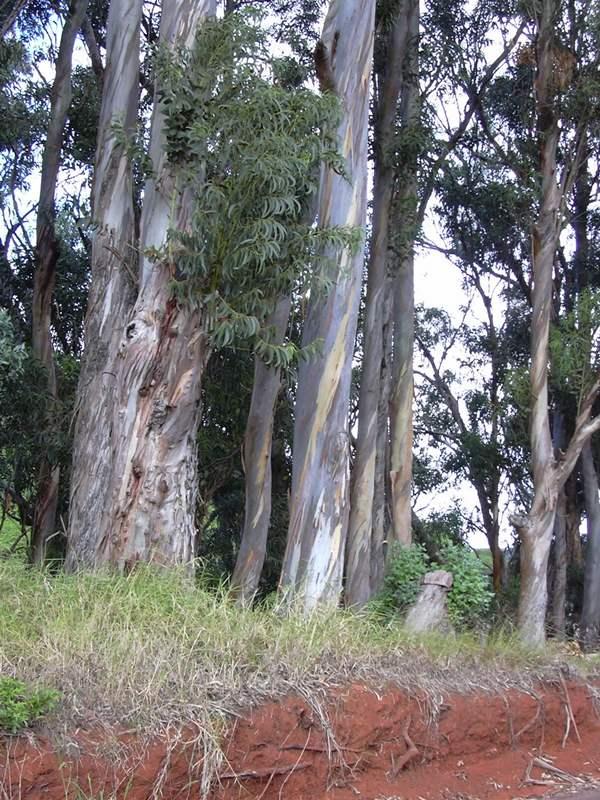 7572 ЕВКАЛІПТА ЛИСТЯ - Eucalyptus vitaminalis**