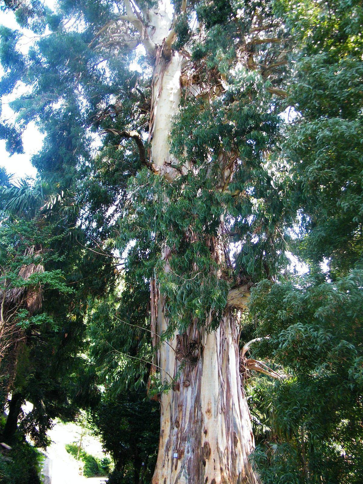 7582 ЕВКАЛІПТА НАСТОЙКА - Eucalyptus vitaminalis**