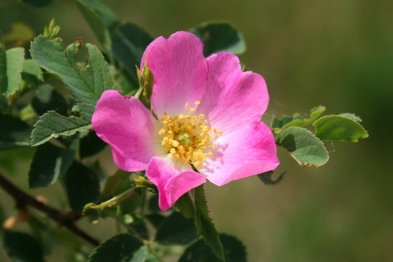 23865 ХОЛОСАС - Rosa**