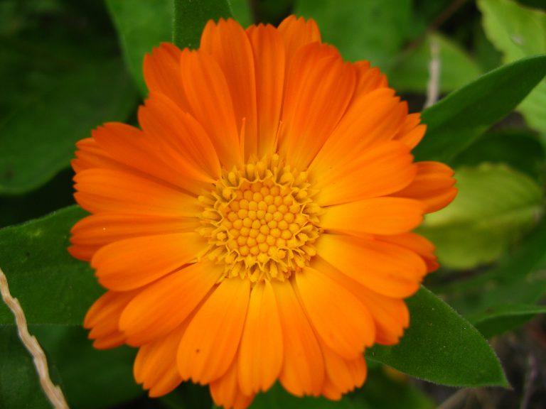 15087 НАГІДОК КВІТКИ - Calendula officinalis**