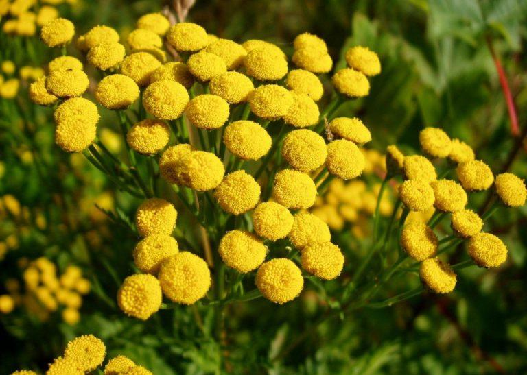 17567 ПИЖМА КВІТКИ - Tanacetum vulgare**