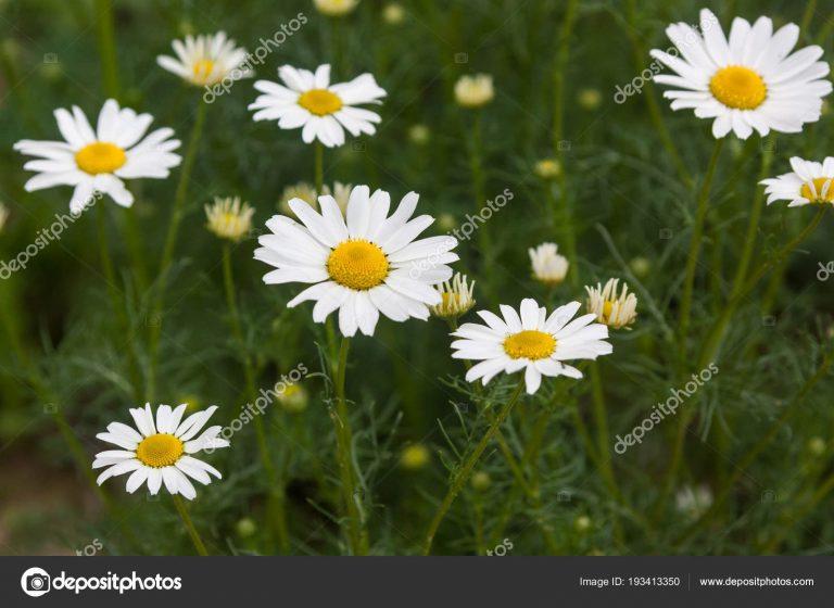 19499 РОМАШКИ КВІТКИ - Matricaria chamomilla**