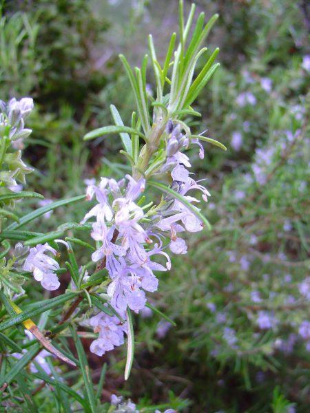 24825 ШАВЛІЇ ЛІКАРСЬКОЇ ЛИСТА ЕКСТРАКТ РІДКИЙ (1:10) - Salvia officinalis**