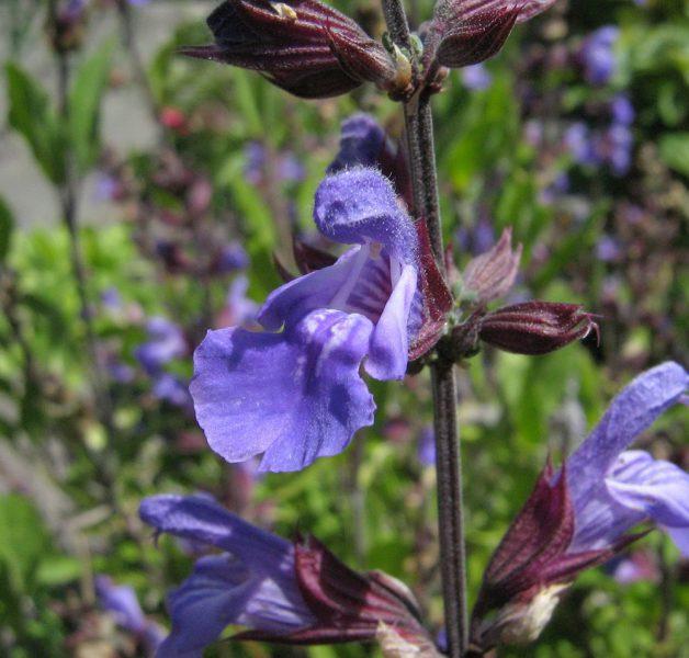 24827 ШАВЛІЇ НАСТОЙКА - Salvia officinalis**