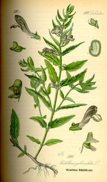 24849 ШОЛОМНИЦІ БАЙКАЛЬСЬКОЇ ЕКСТРАКТ - Scutellaria baicalensis**